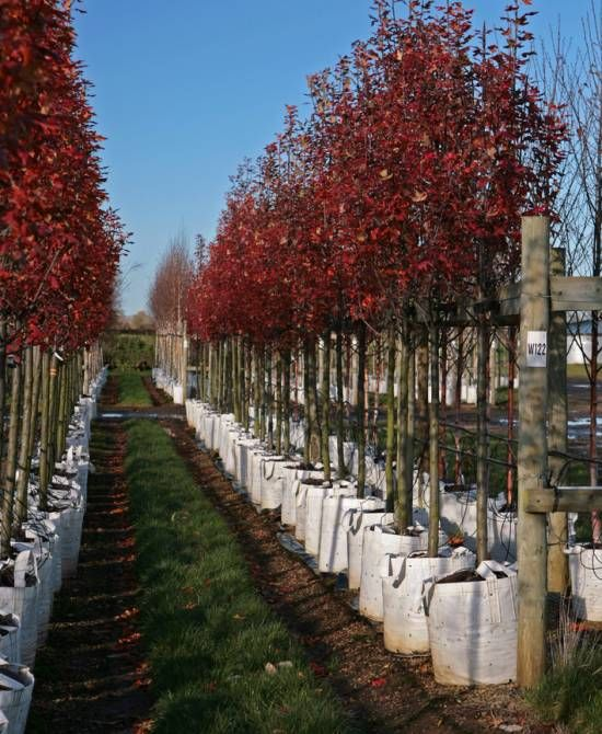 Malus trilobata in full autumn colour on the nursery at Barcham - kleine l küche