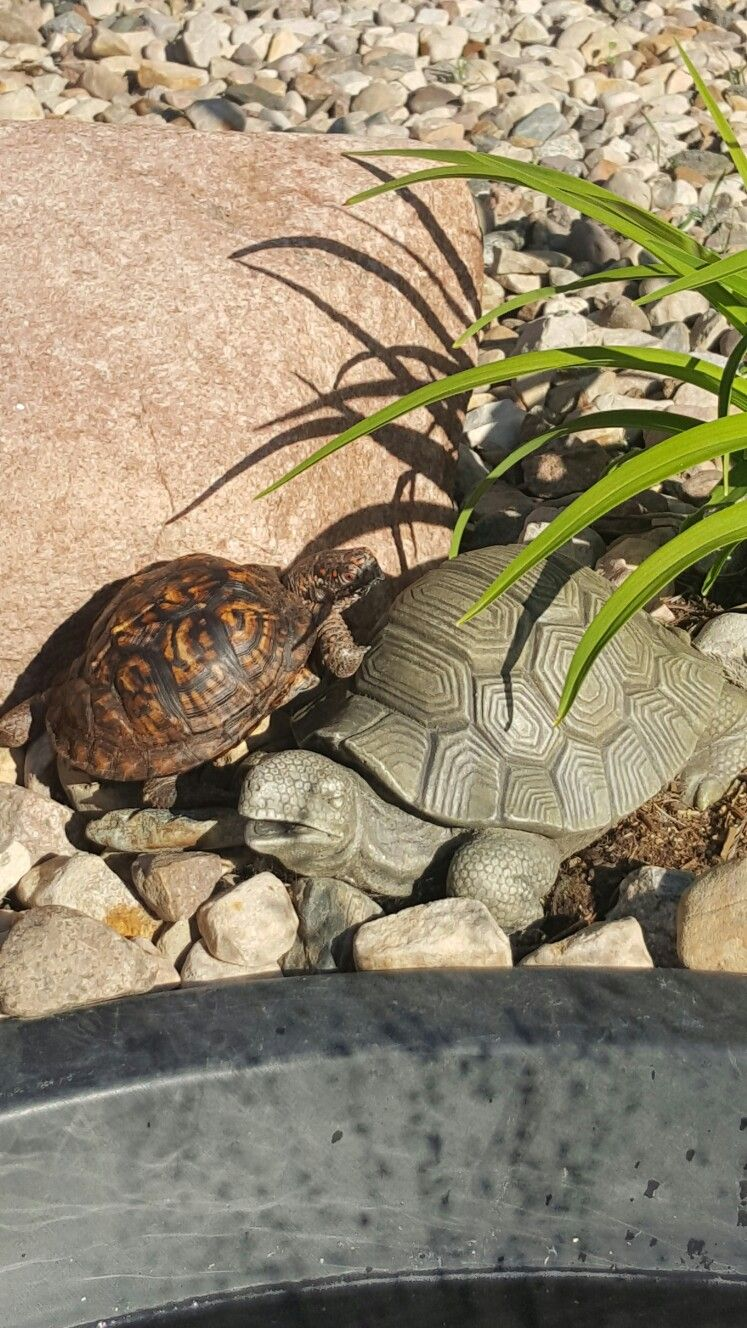 Pin by caressa johnson on eastern box turtle pinterest box turtles