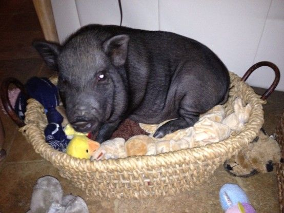 Pig in the toy box