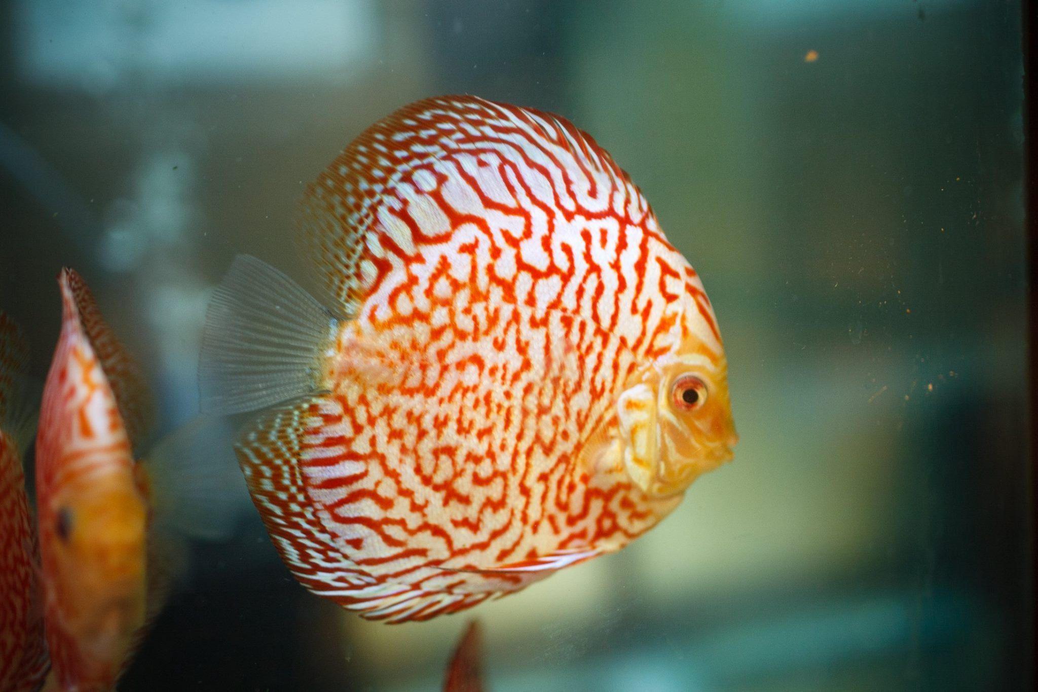 Discus Pigeon Red Tiger Discus Discus Fish Freshwater Aquarium Fish