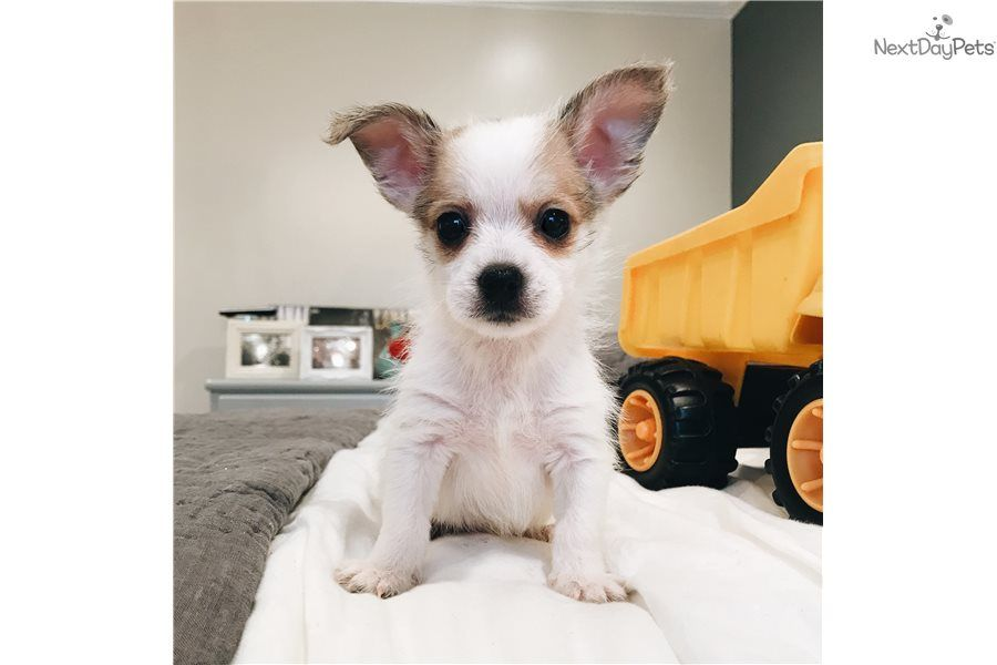 Max Chihuahua Puppy For Sale Near Birmingham Alabama C613c30e