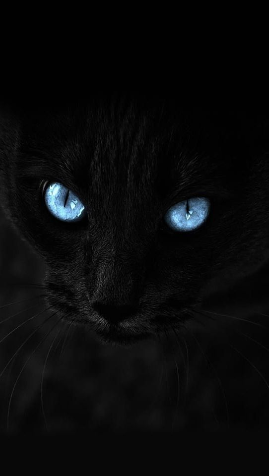 Wallpaper Blue Eyed Cat Cats Cat With Blue Eyes Animals Beautiful