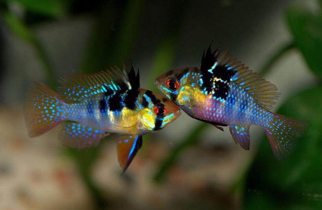 Ram Cichlid Care Size Lifespan Tankmates Breeding Cichlids Aquarium Fish Chiclid