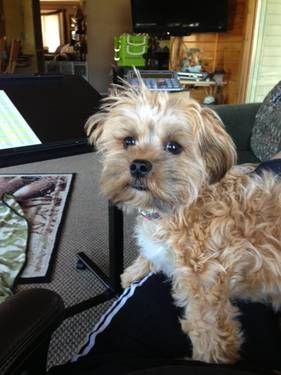 Cute Teddybear Puppy For Sale Mix Bichon Shih Tzu Toy Poodle Yorkie Puppy For Sale Teacup Yorkie Puppy Yorkie Puppy