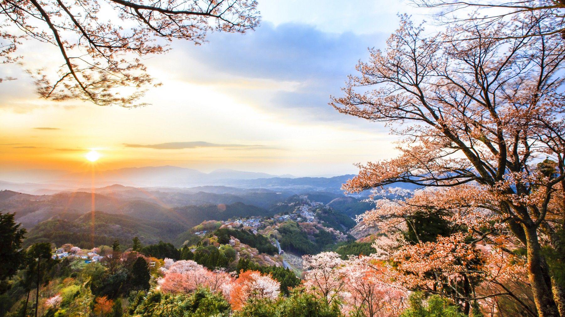 Cherry blossoms at Mount Yoshino, Nara Prefecture, Japan