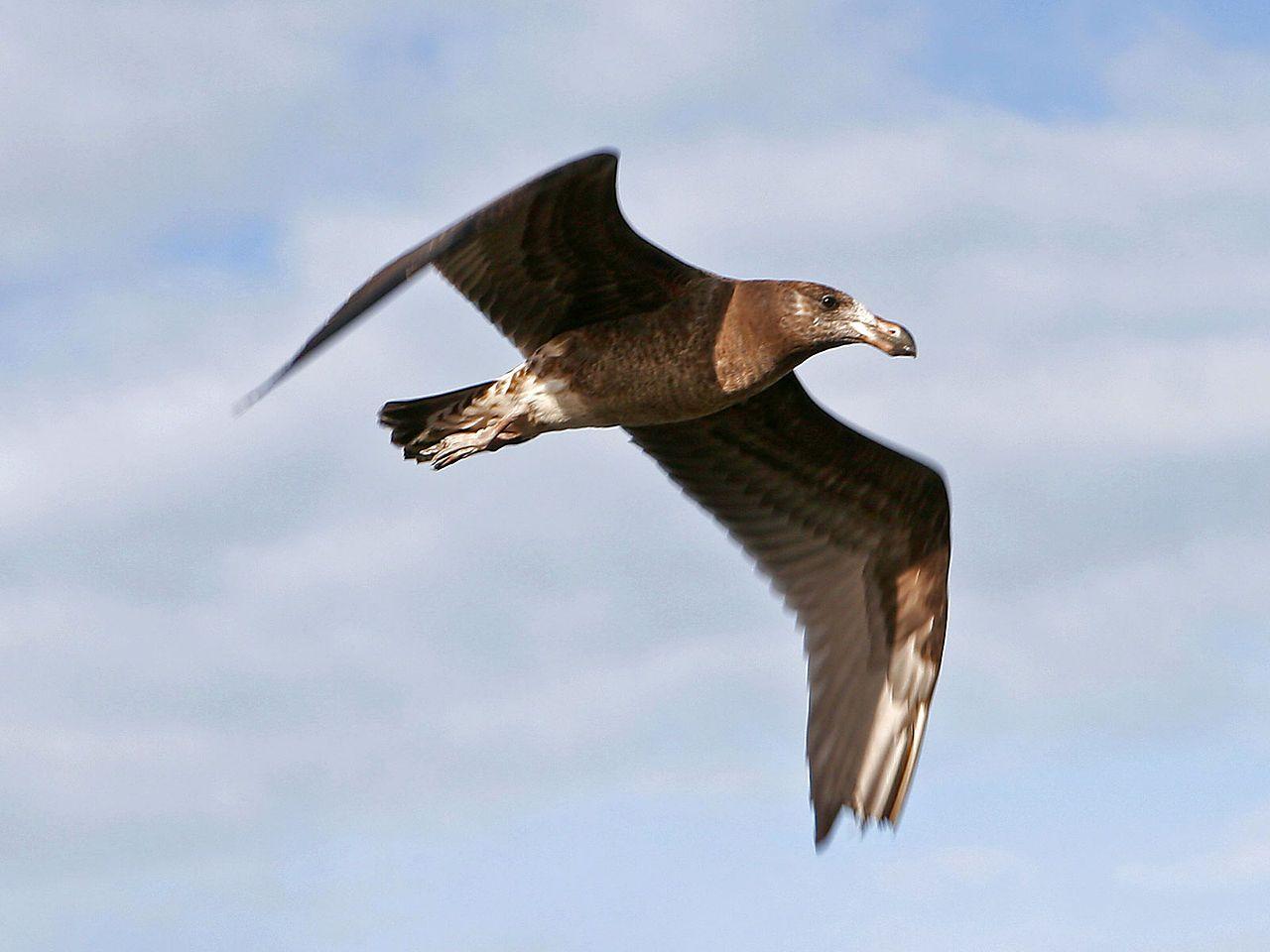 Pacific gull - Möwen – Wikipedia