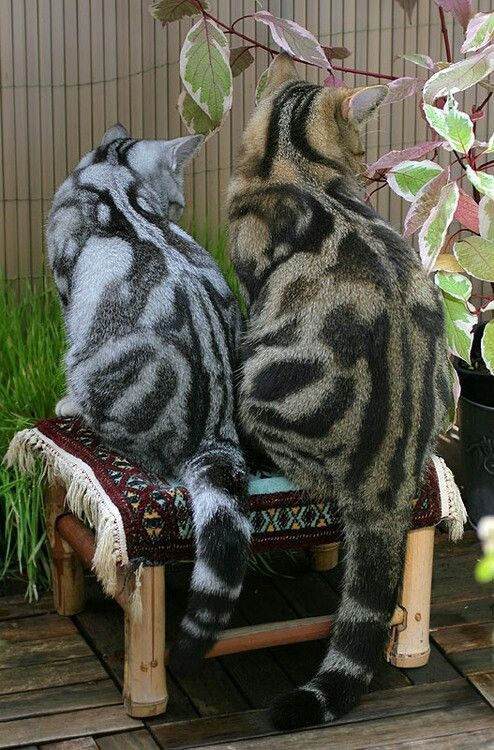 Mackerel striped tabby cats! So cool looking! Awesome