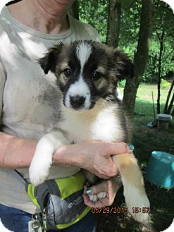 Lincolndale Ny Jack Russell Terrier Border Collie Mix Meet Mercedes A Puppy For Adoption Http Www Adoptapet Com Pet 13153900 Lincolndale New York Jack R