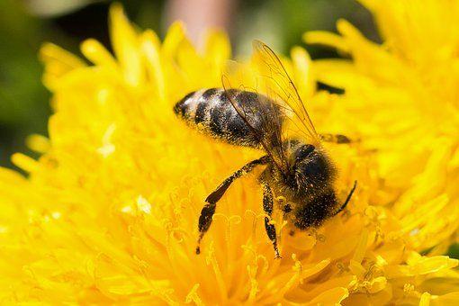 Mehiläinen, Voikukka, Siitepöly