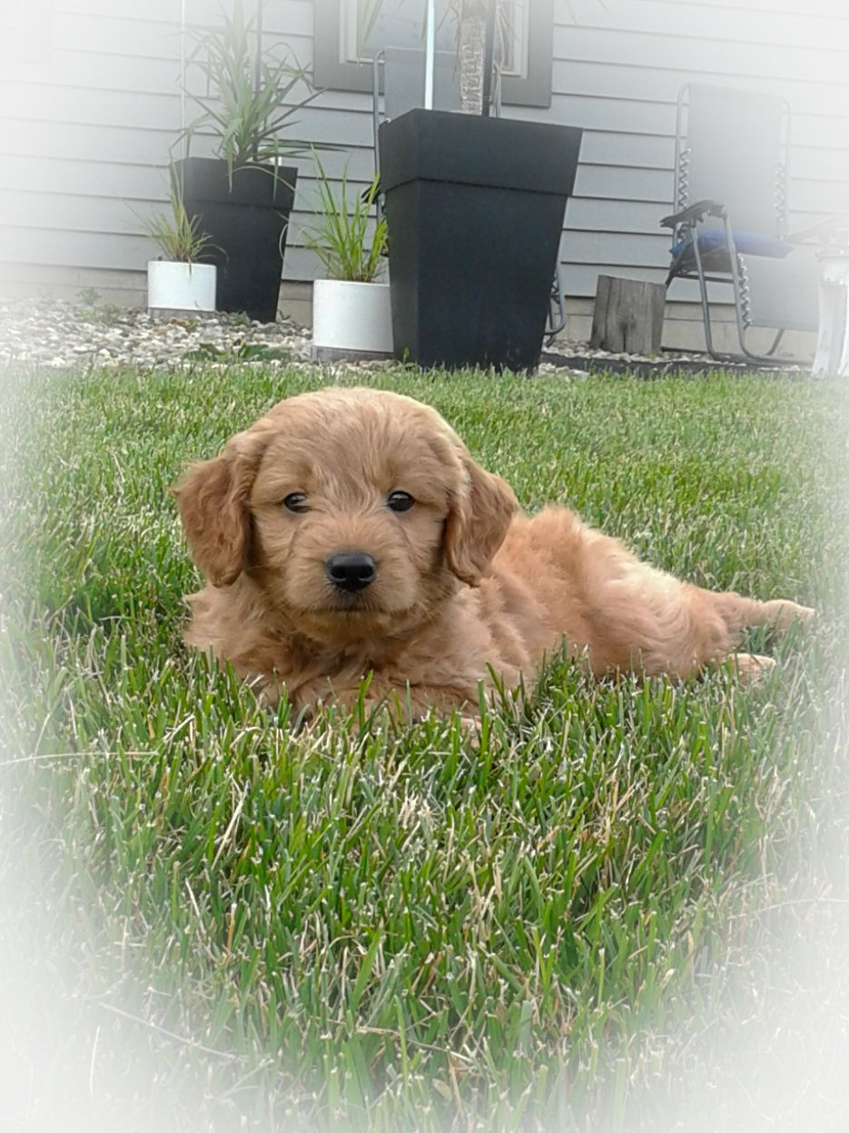 Fuzzy Minigoldendoodle Mini Goldendoodle Puppies Retriever Puppy Goldendoodle Puppy