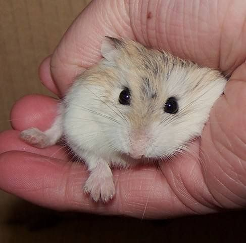 6 Types of Most Popular Hamster Breeds | All Animals