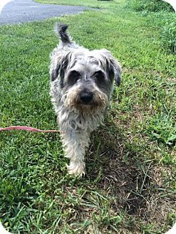 Lewisburg Wv Cairn Terrier Meet Mario Pepper A Dog For