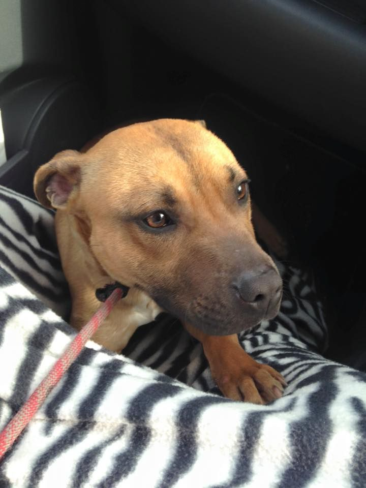 Found Male Staffy Sheffield Lostbox Bully Breeds Dogs Staffy Dog Terrier Breeds