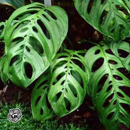 Monstera obliqua mis plantas pinterest plantas for Vivero plantas tropicales