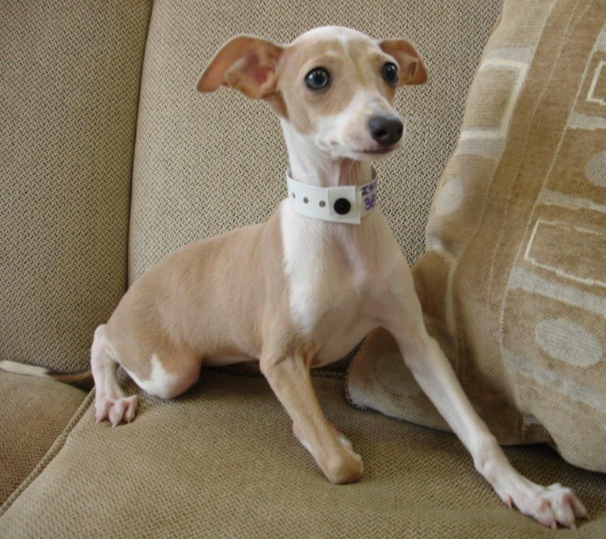 Italian Greyhound Adorable Italian Greyhound Puppies