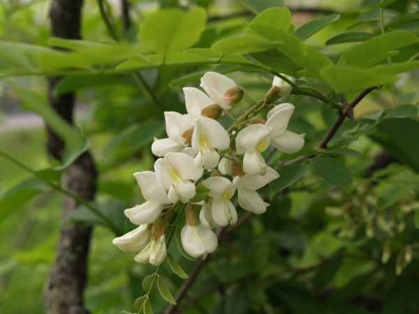 Black locust (Robinia) often grows as a weed tree at the edge of ...