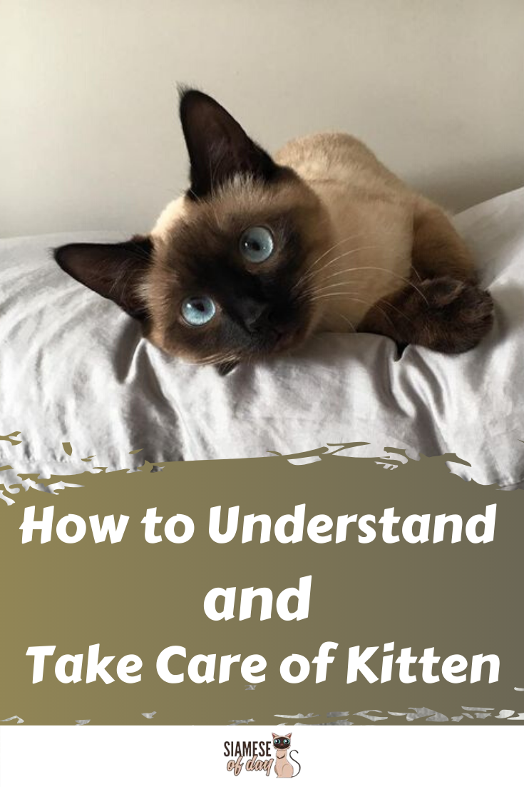 6 Ways To Care For Siamese Cats Siamese Of Day Cat Training Cat Advice Siamese Kittens