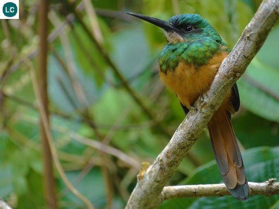 https://www.facebook.com/THI%C3%8AN-NHI%C3%8AN-K%E1%BB%B2-TH%C3%9A-171150349611448/timeline/ Chim Jacamar đuôi hung; Họ Galbulidae; Trung và Nam Mỹ | Rufous-tailed jacamar (Galbula ruficauda) IUCN Red List of Threatened Species 3.1 : Least Concern (LC)(Loài ít quan tâm)