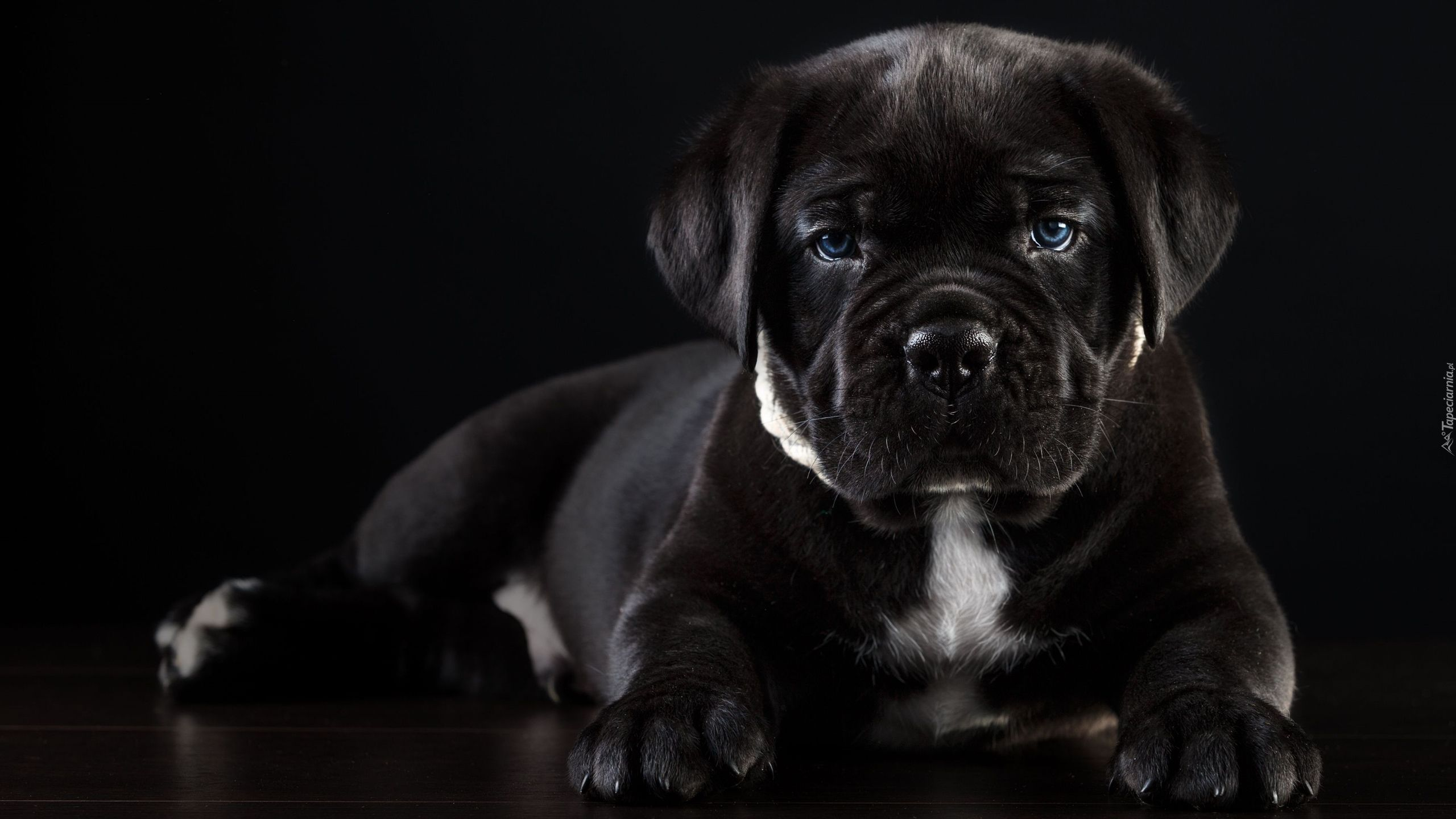 Pies Lezacy Szczeniak Cane Corso