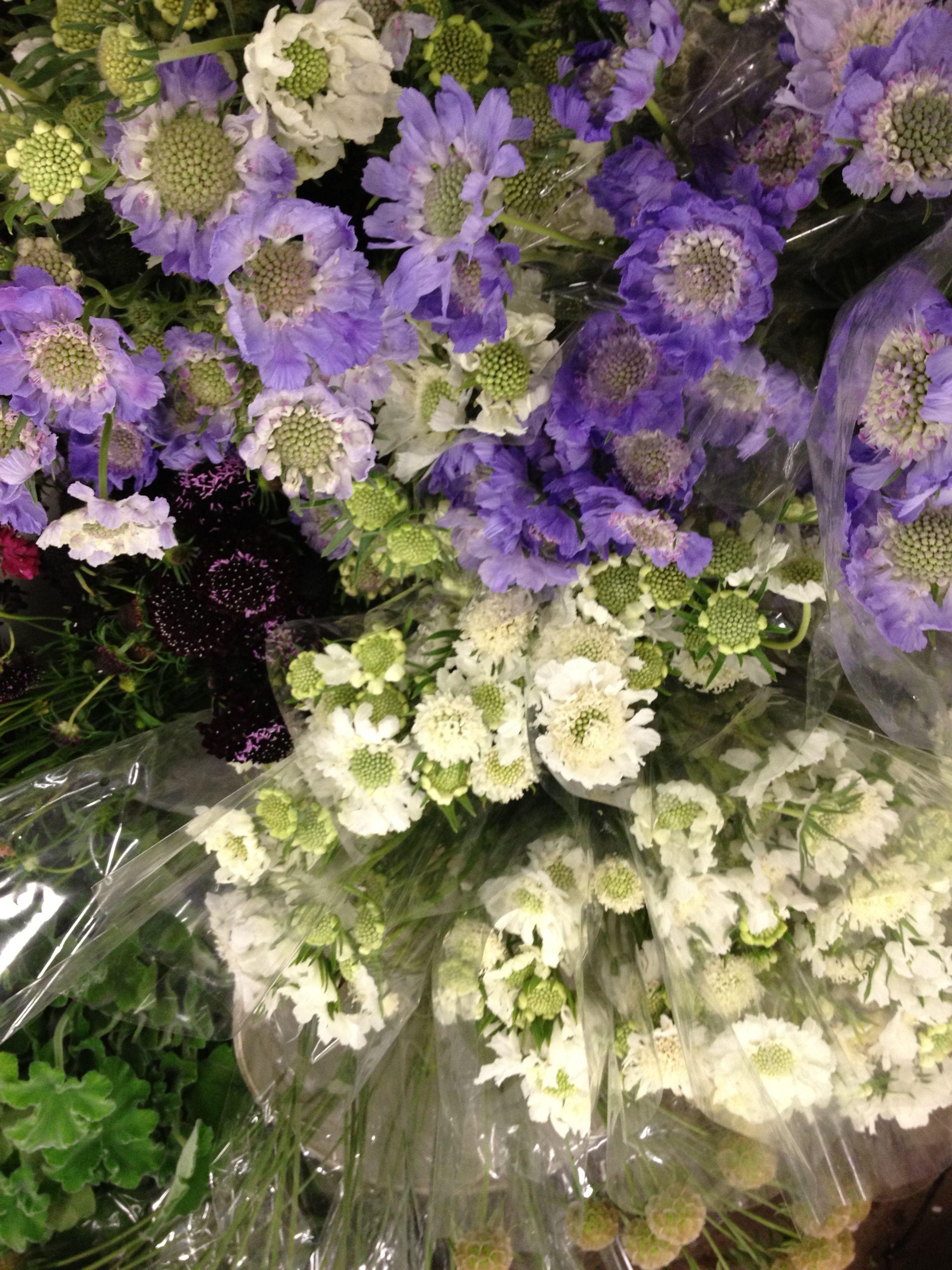 Whitepurple Poppy Like Flowers Sfflowermart Pinterest Purple