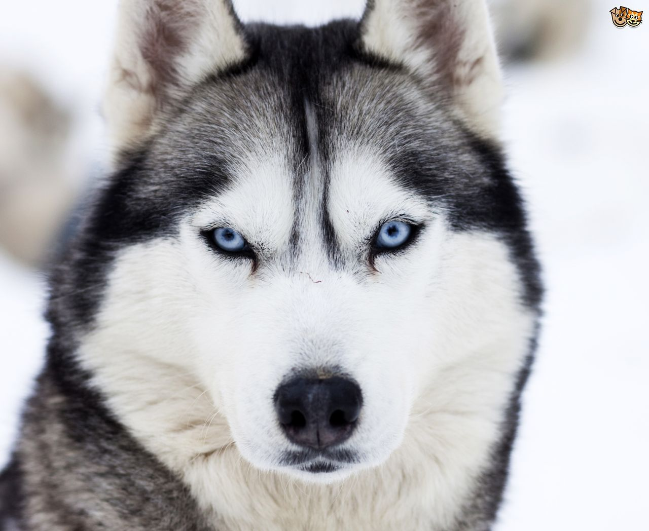 Siberian Husky Colours And Commonly Confused Breeds Husky