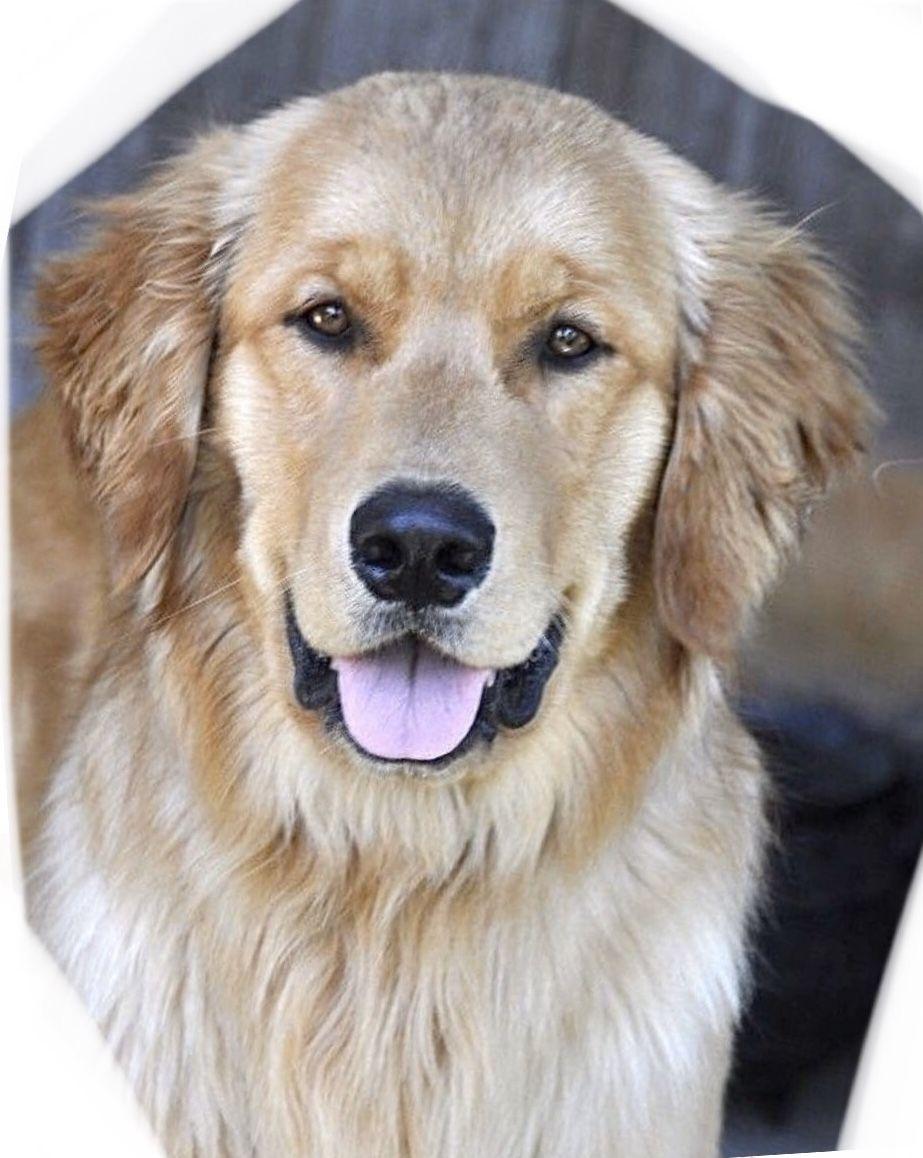Pin by Nancy on Golden retrievers in 2020 Cute dogs