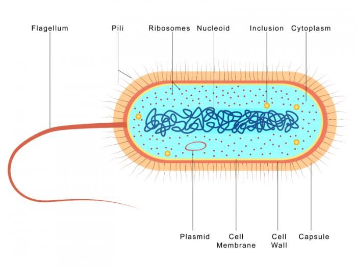 Bacterial Cell Diagram On Skin Diy Enthusiasts Wiring Diagrams