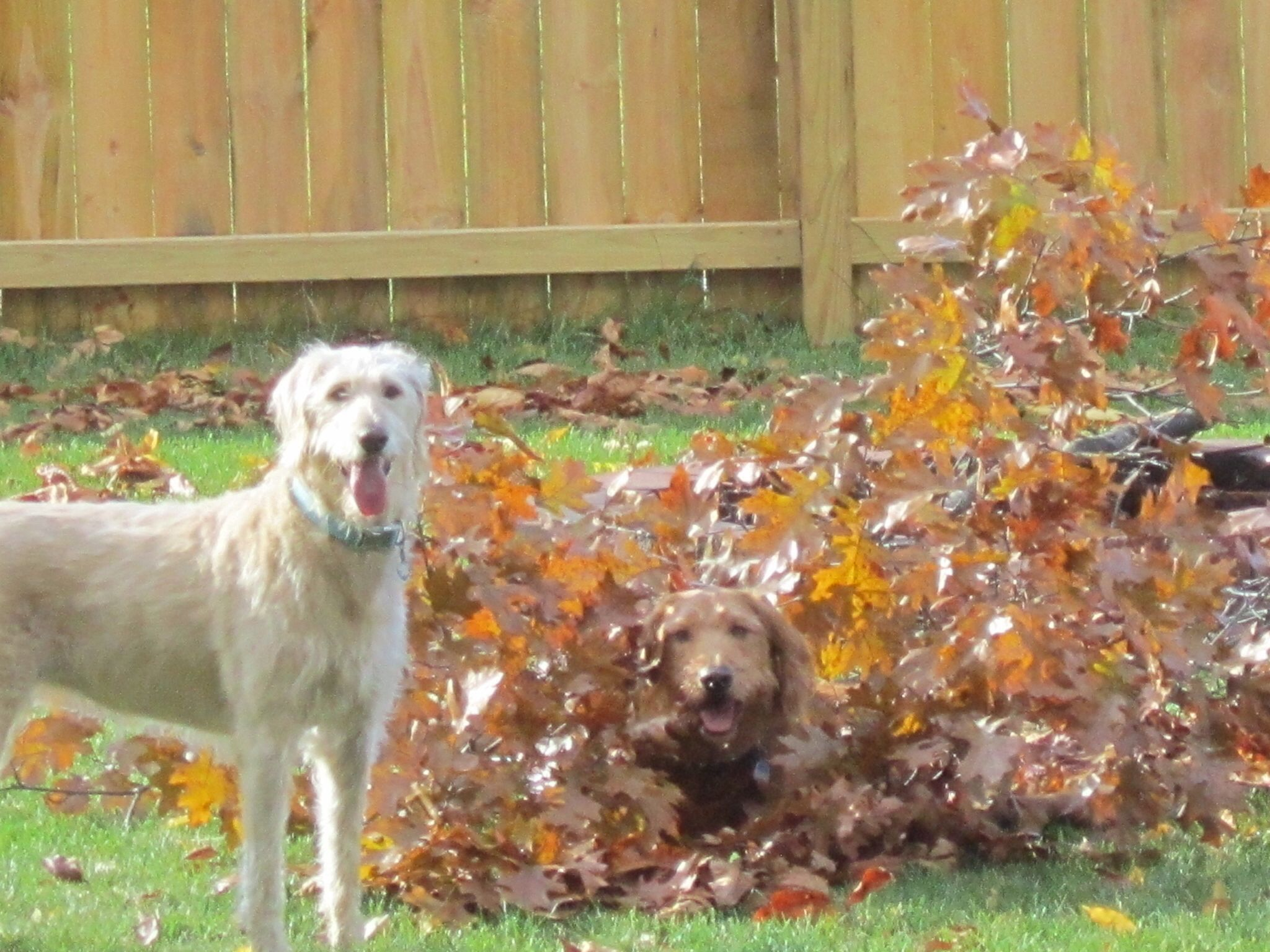 Hide and Seek Animals, Dogs, Marley