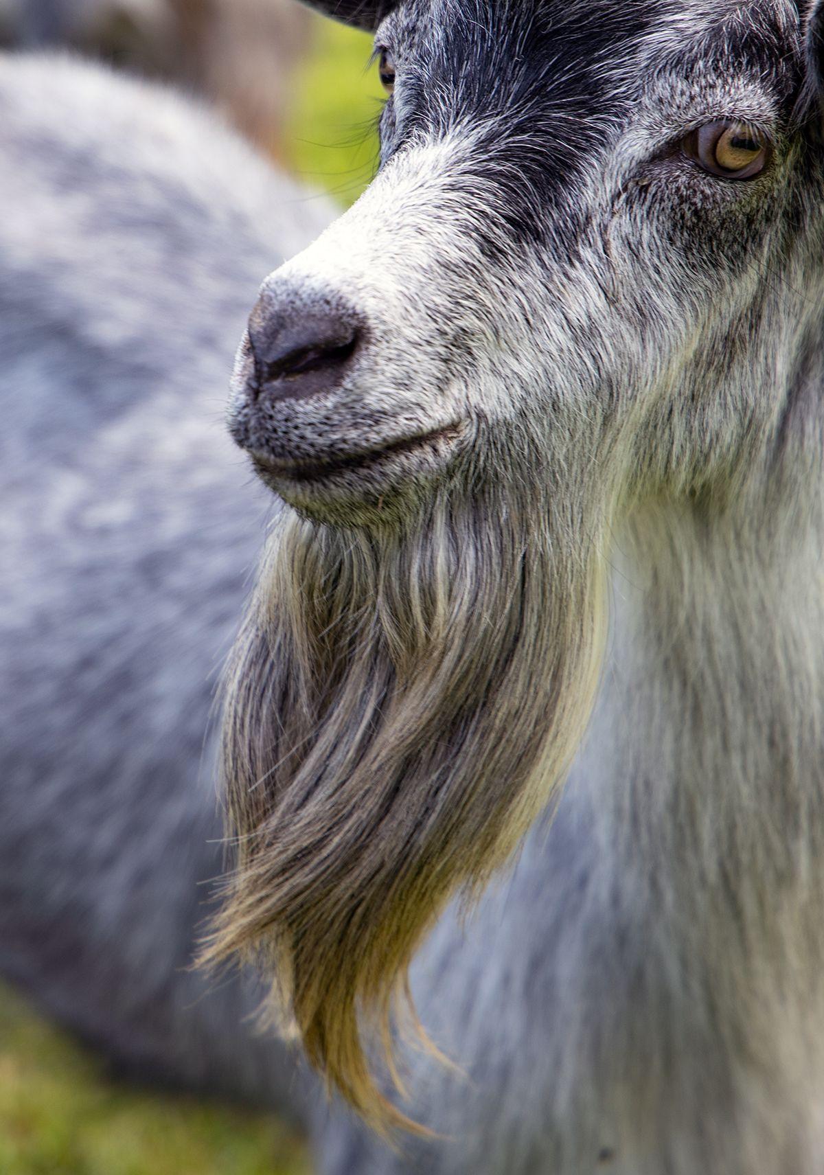 Unser Hubscher Blobe Ziegenbock Hat Einen Feschen Bart Oder Animals Goats Faun