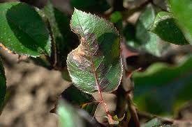 Ложная мучнистая роса Распространенные болезни и вредители роз с фото. Способы борьбы с ними.