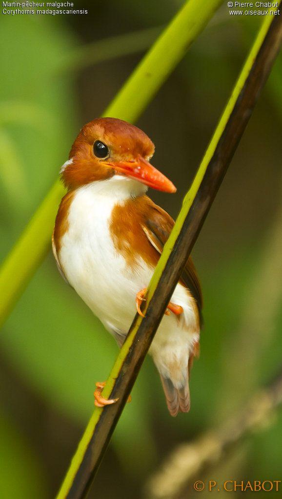 Madagascan Pygmy Kingfisher - Corythornis madagascariensis