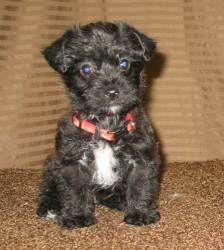 Robbie Is An Adoptable Shih Tzu Dog In Lodi Ca Robbie Is An Adorable 7 Week Old Shih Poo Puppy Shih Poo Puppies Puppy Time Shih Poo