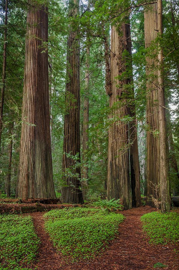 Paths To Redwoods By Greg Nyquist