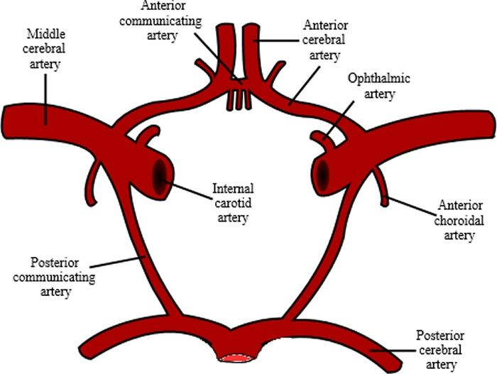 branches of the internal carotid artery - Google Search