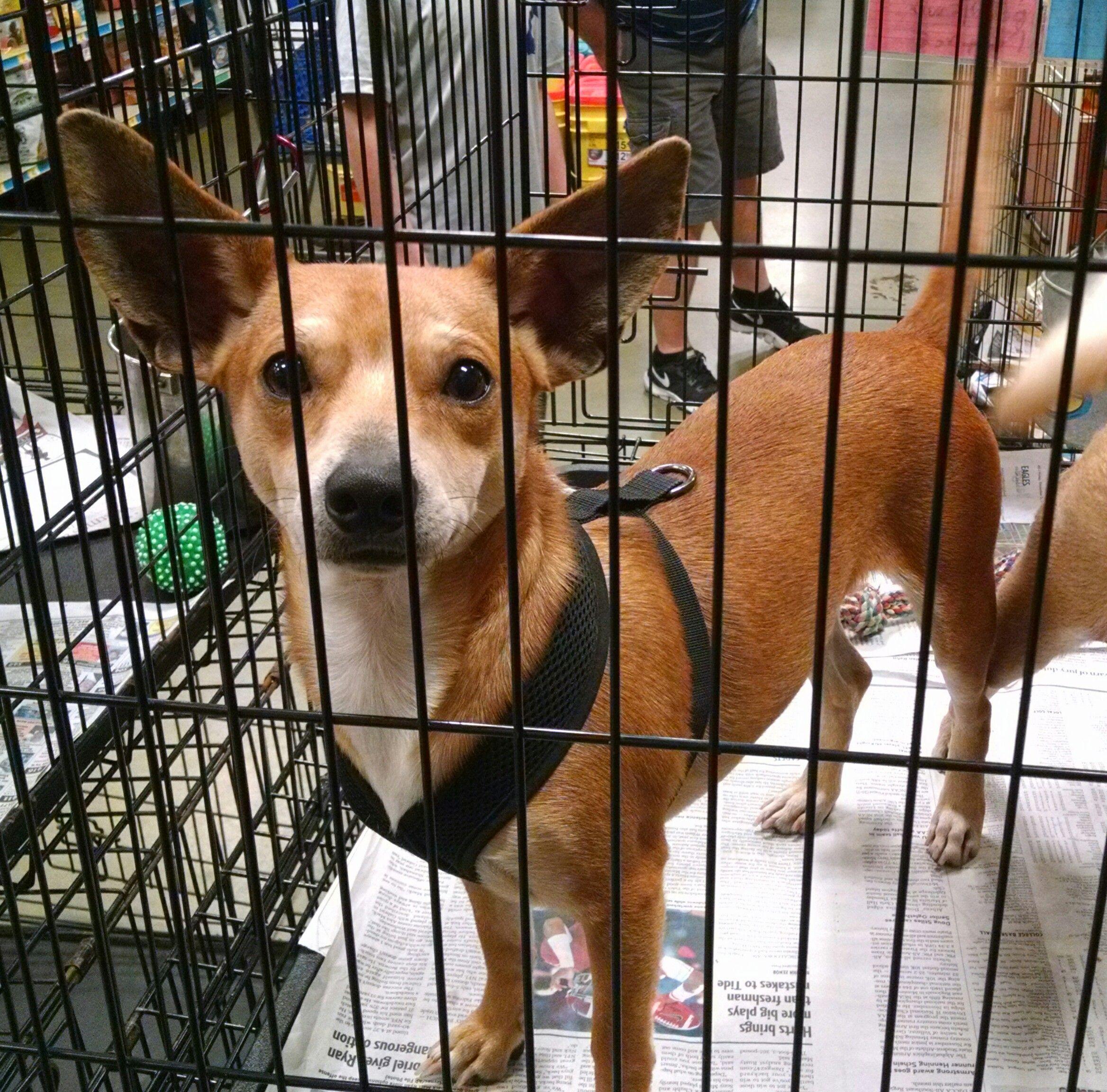 Chiweenie dog for Adoption in Pembroke GA ADN on