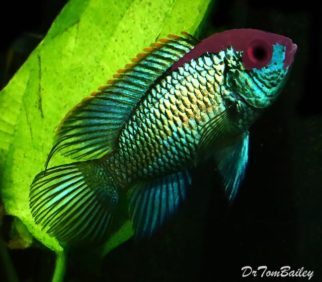Electric blue acara andinoacara pulcher gill 1858 for Blue fish aquarium