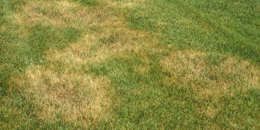 Brown Patch Disease In St Augustine Lawn Lawn Treatment Lawn Care St Augustine Grass