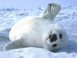 Foca Artica Buscar Con Google Fotos De Animales Bebe Imagenes De Animales Tiernos Fotos De Animales