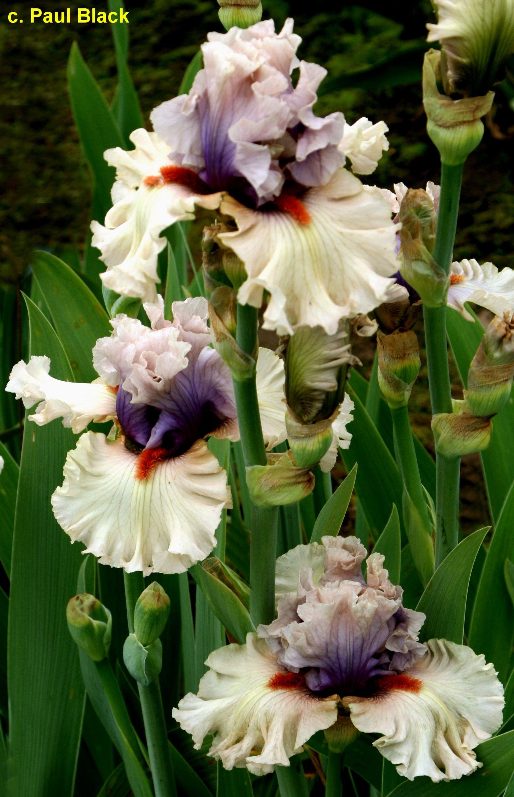 Make My Heart Sing Iris Flowers Iris Garden Flower Pictures