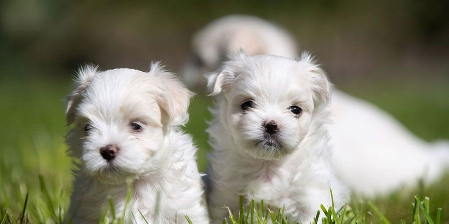 Maltese Puppy Picture Puppy Quotes Dog Quotes Best Dog Quotes