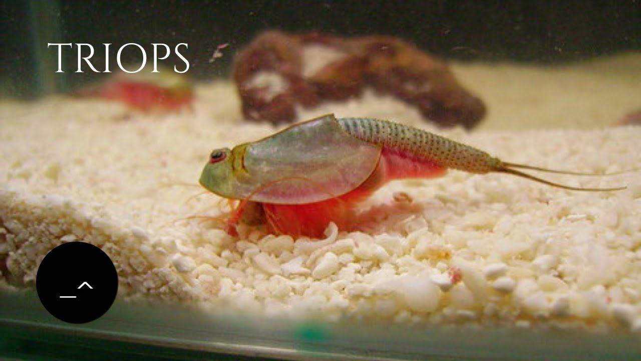 Creating A Tadpole Shrimp Tank Sea Monkeys Included Sea