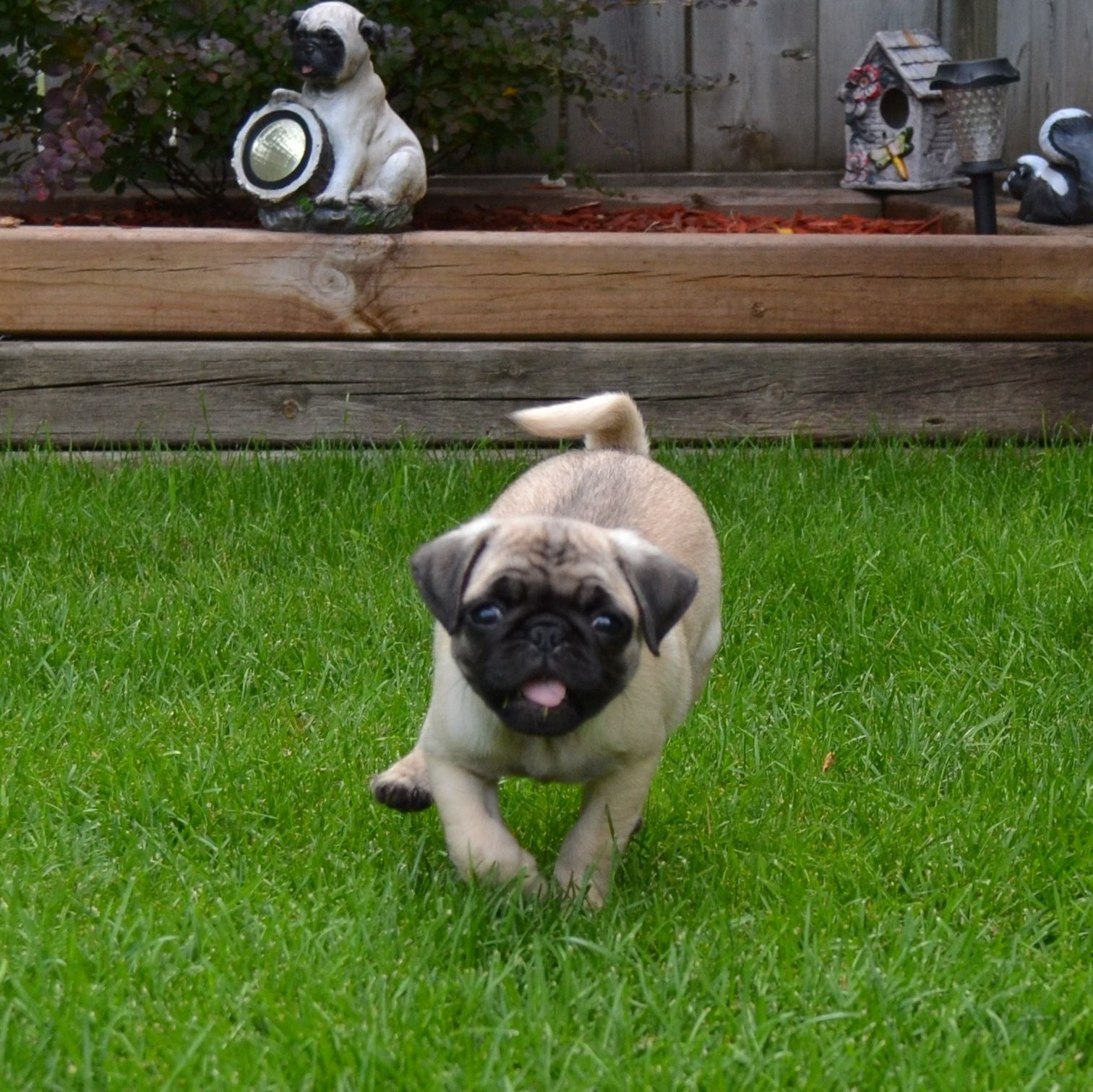 Cute pug puppy our boo smile must love dogs pinterest pug