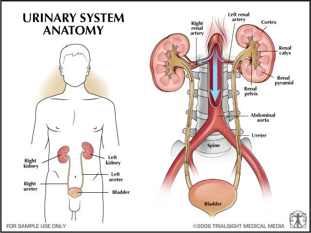 anatomy of urinary tract - Google Search | TREATMENT FOR URINARY ...