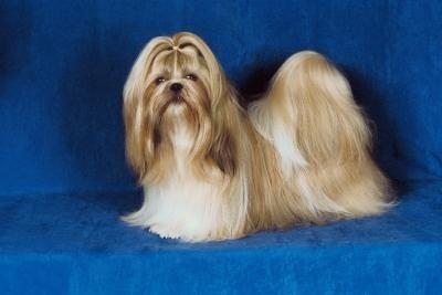 How To Grow Long Hair On A Shih Tzu Shih Tzu Dog Shih Tzu Puppy