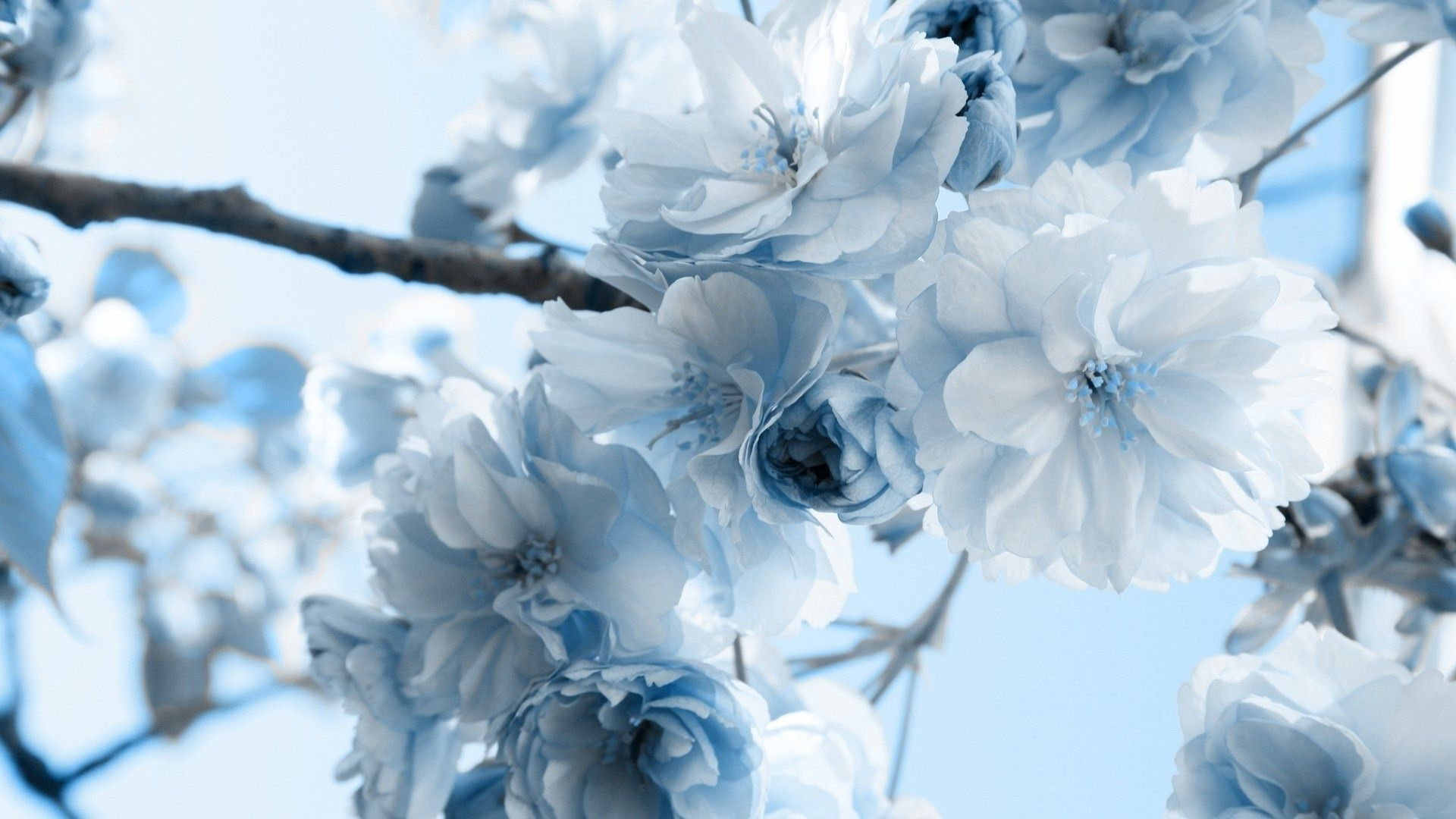 024 flowers blue flowers blue pinterest blue flowers pretty light blue and white flowers dhlflorist Image collections