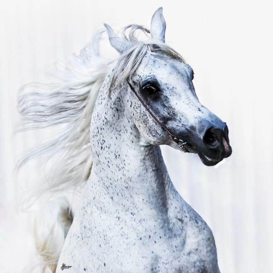 12 Arab Horse Inherent The Best And Purest Horse Breeds In The World And The Fastest Horse Breeds Horses Arabian Horse