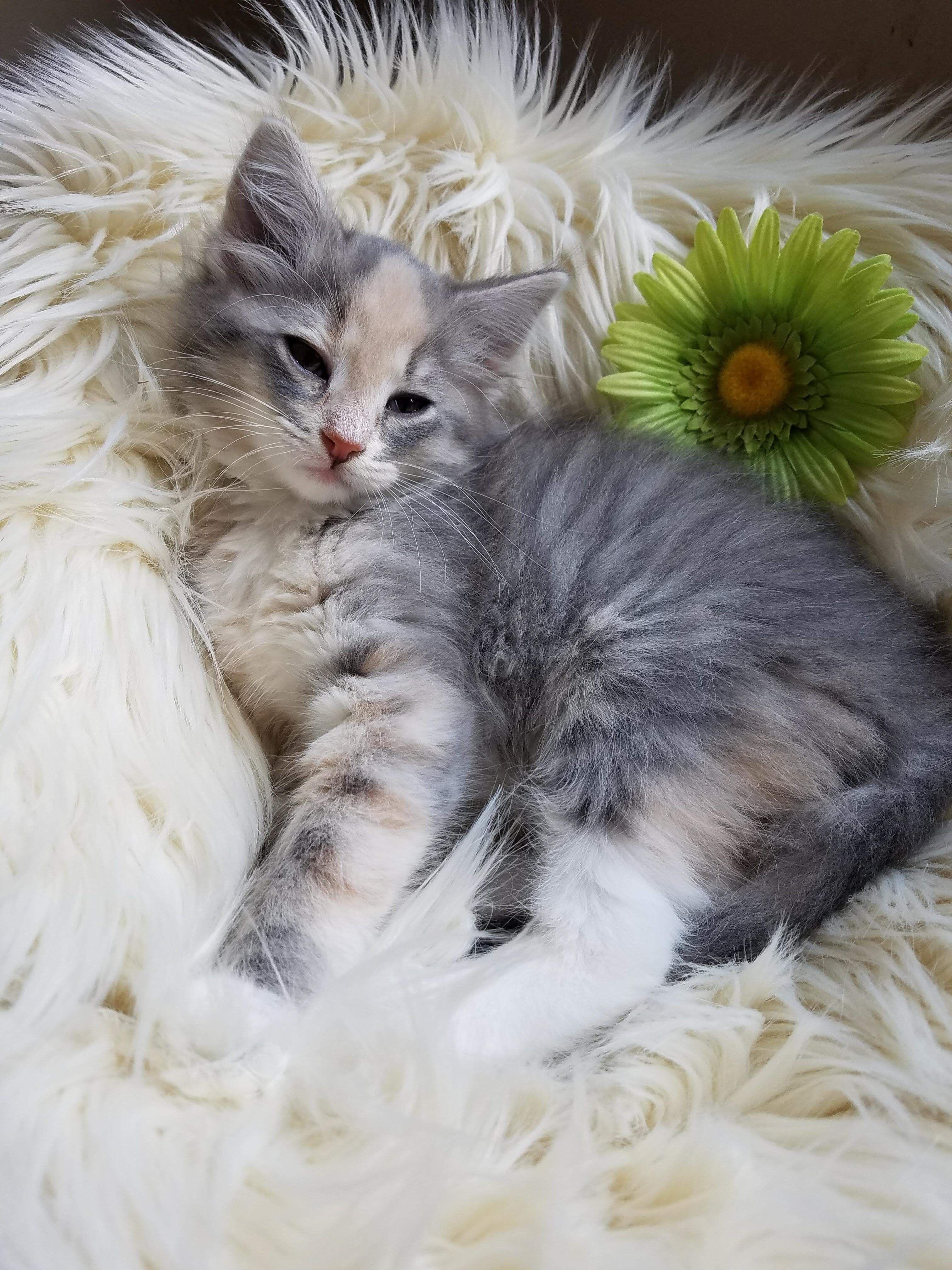 Adopt Queenie on Pets, Medium hair styles, Kittens