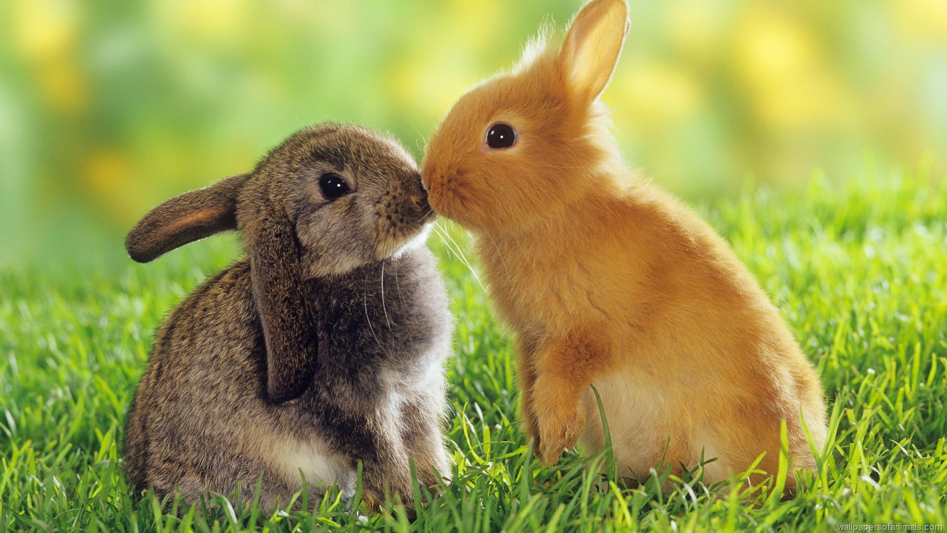 Kissing-Little-Rabbits-Wallpaper