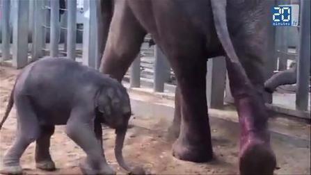 Tom, l'éléphanteau né en France [Video]