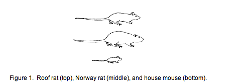 Rats Are Mice And Roof Rats Norway Rats Too How To Get Rid Of Rats In The Attic Rodent Trapping Rodent Proofing Getting Rid Of Rats Roof Rats Norway Rat